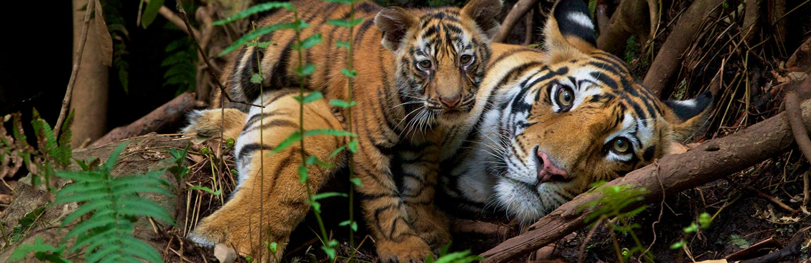 Name:  Tigers-Wide_1700x550.jpg Views: 61 Size:  212.1 KB